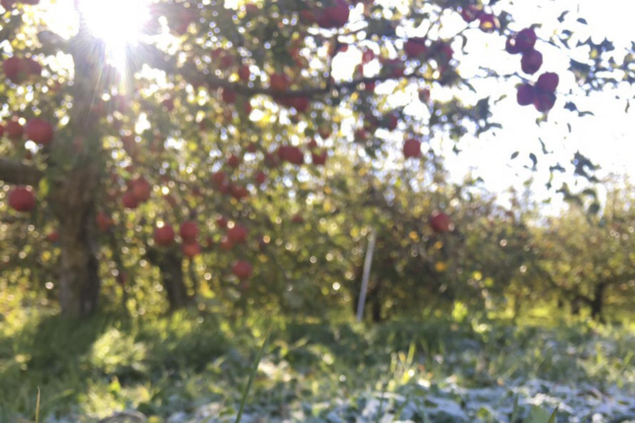 「1日1個のりんごは医者を遠ざける」